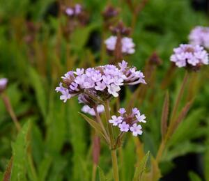 Verbena, sporýš 'Polaris' - Verbena forma lilacina 'Polaris'