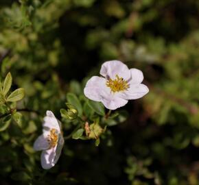 Mochna křovitá 'Princess' - Potentilla fruticosa 'Princess'