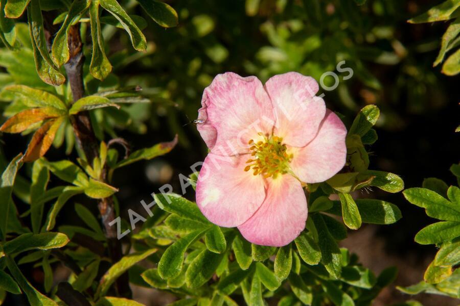 Mochna křovitá 'Bellissima' - Potentilla fruticosa 'Bellissima'