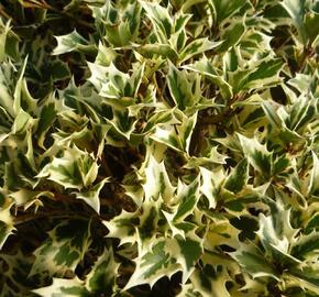 Vonokvětka různolistá 'Variegatus' - Osmanthus heterophyllus 'Variegatus'