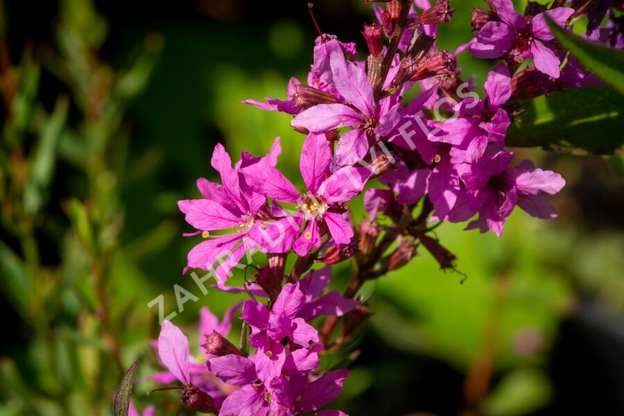 Kyprej prutnatý 'Rose Queen' - Lythrum virgatum 'Rose Queen'