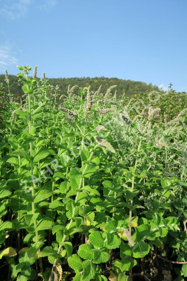 Máta huňatá 'Ananasmintze' - Mentha rotundifolia 'Ananasmintze'