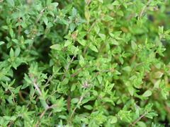 Tymián obecný 'Deutscher Winter' - Thymus vulgaris 'Deutscher Winter'