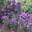Hvězdnice novobelgická 'Violetta' - Aster novi-belgii 'Violetta'
