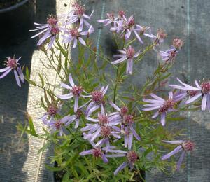 Hvězdnice 'Nanus' - Aster sedifolius 'Nanus'