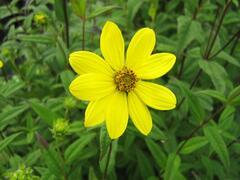 Slunečnice drobnokvětá - Helianthus microcephalus