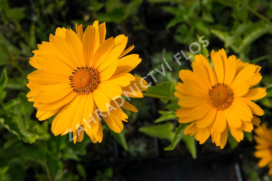 Janeba drsná 'Venus' - Heliopsis helianthoides 'Venus'