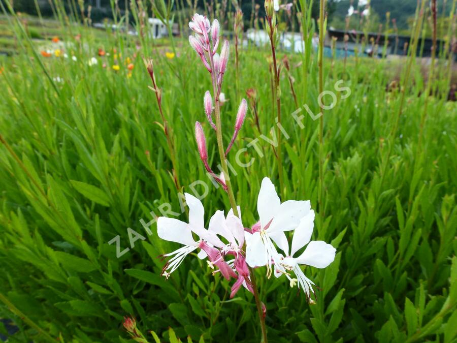 Svíčkovec 'Summer Breeze' - Gaura lindheimeri 'Summer Breeze'