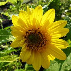 Slunečnice 'Capenoch Star' - Helianthus decapetalus 'Capenoch Star'