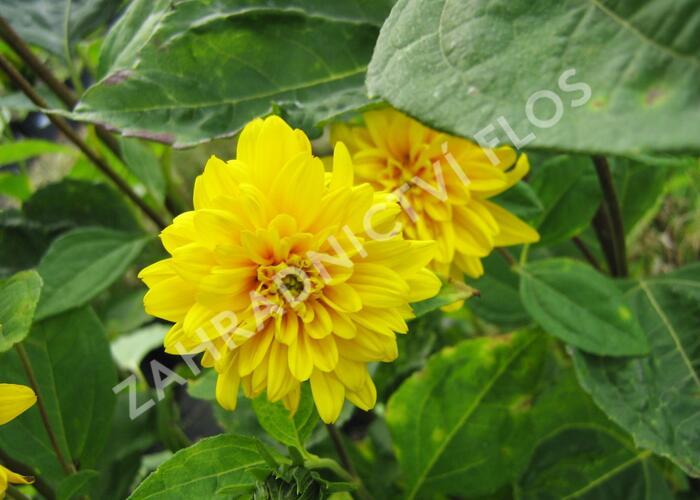 Slunečnice 'Loddon Gold' - Helianthus decapetalus 'Loddon Gold'