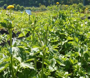 Pryskyřník prudký 'Multiplex' - Ranunculus acris 'Multiplex'