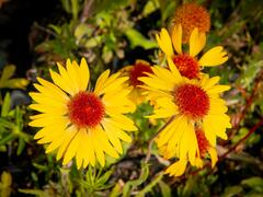 Kokarda osinatá 'Amber Wheels' - Gaillardia aristata 'Amber Wheels'