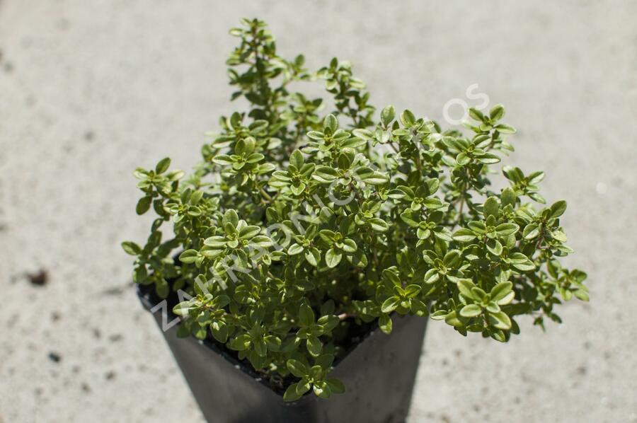 Mateřídouška 'Bertram Anderson' - Thymus x citriodorus 'Bertram Anderson'