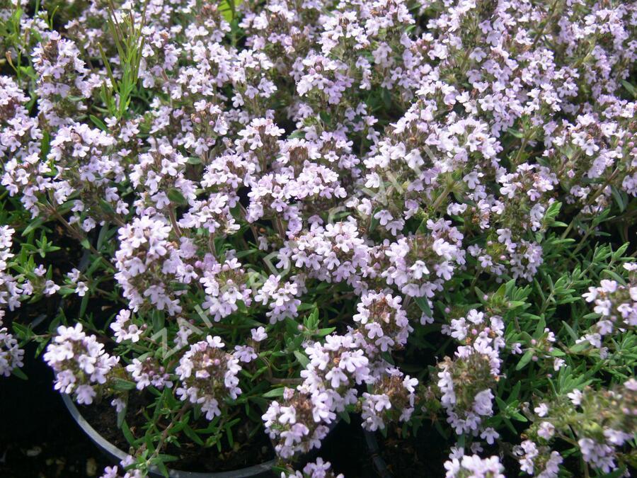 Tymián obecný 'Duftkissen' - Thymus vulgaris 'Duftkissen'
