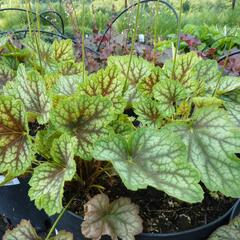 Dlužicha 'Beauty Colour' - Heuchera 'Beauty Colour'