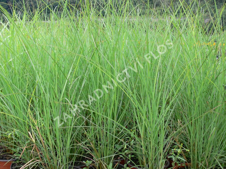 Ozdobnice čínská 'Fontane' - Miscanthus sinensis 'Fontane'