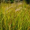 Ozdobnice čínská 'Kaskade' - Miscanthus sinensis 'Kaskade'