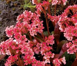 Bergénie srdčitá 'Pink Dragonfly' - Bergenia 'Pink Dragonfly'