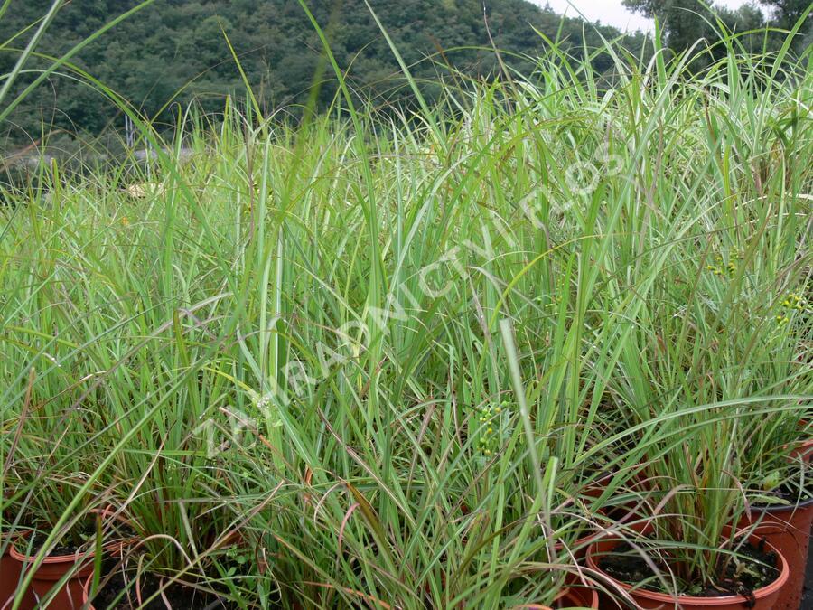 Ozdobnice čínská 'Blütenwunder' - Miscanthus sinensis 'Blütenwunder'