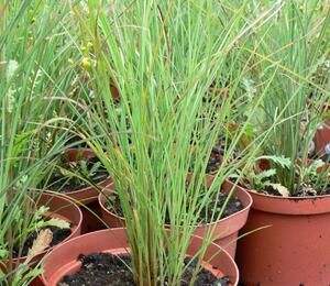 Ozdobnice čínská 'Autumn Light' - Miscanthus sinensis 'Autumn Light'