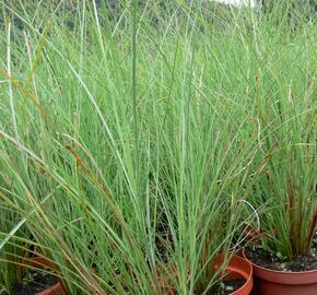 Ozdobnice čínská 'Arabesque' - Miscanthus sinensis 'Arabesque'