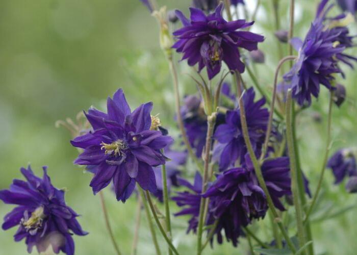 Orlíček obecný 'Blue Barlow' - Aquilegia vulgaris 'Blue Barlow'