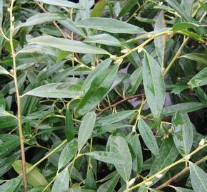 Bobkovišeň lékařská 'Zabeliana' - Prunus laurocerasus 'Zabeliana'