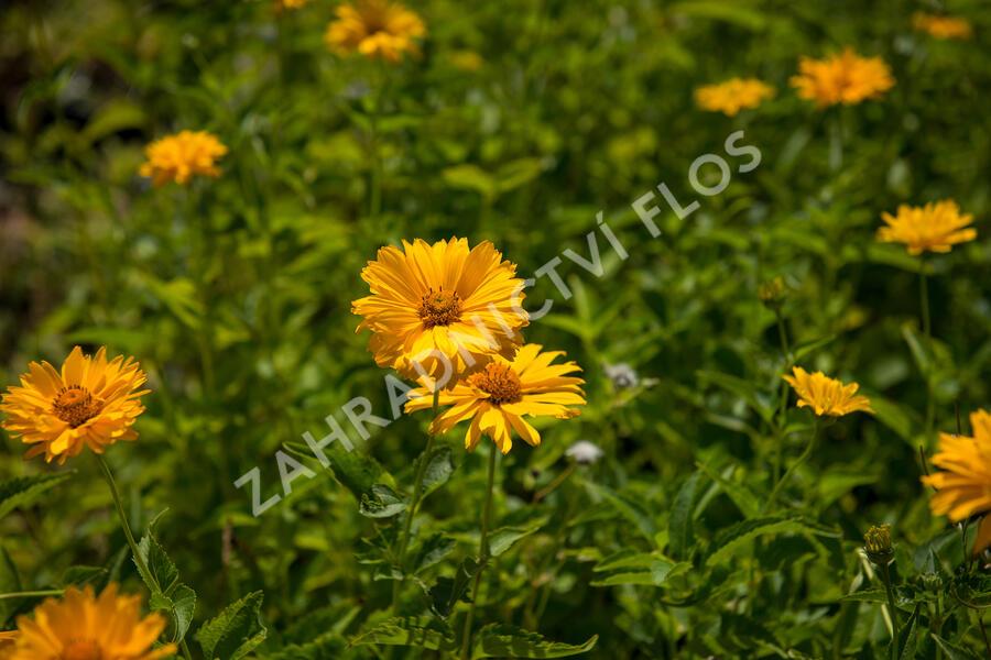 Janeba drsná - Heliopsis helianthoides scabra