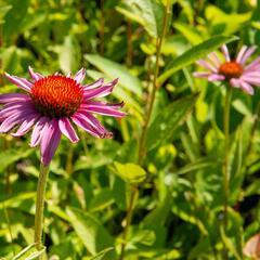 Třapatka nachová 'Magnus Superior' - Echinacea purpurea 'Magnus Superior'