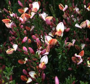Čilimník 'Zeelandia' - Cytisus 'Zeelandia'