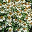 Třapatka nachová 'Happy Star' - Echinacea purpurea 'Happy Star'