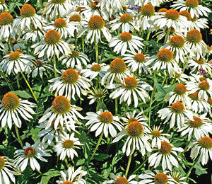 Třapatka nachová 'Happy Star' - Echinacea purpurea 'Happy Star'