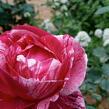 Růže velkokvětá 'Henri Matisse' - Rosa VK 'Henri Matisse' ('Delstrobla')