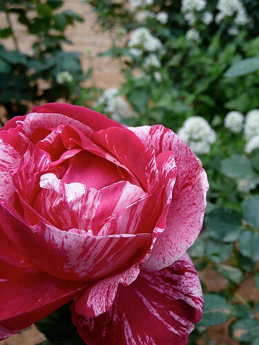 Růže velkokvětá 'Henri Matise' - Rosa VK 'Henri Matise'