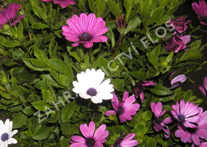 Dvoutvárka 'Impassion Creme Pink' - Osteospermum ecklonis 'Impassion Creme Pink'