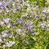 Zvonek bělokvětý - Campanula lactiflora