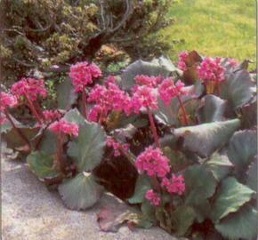 Bergénie srdčitá 'Purpurea' - Bergenia cordifolia 'Purpurea'