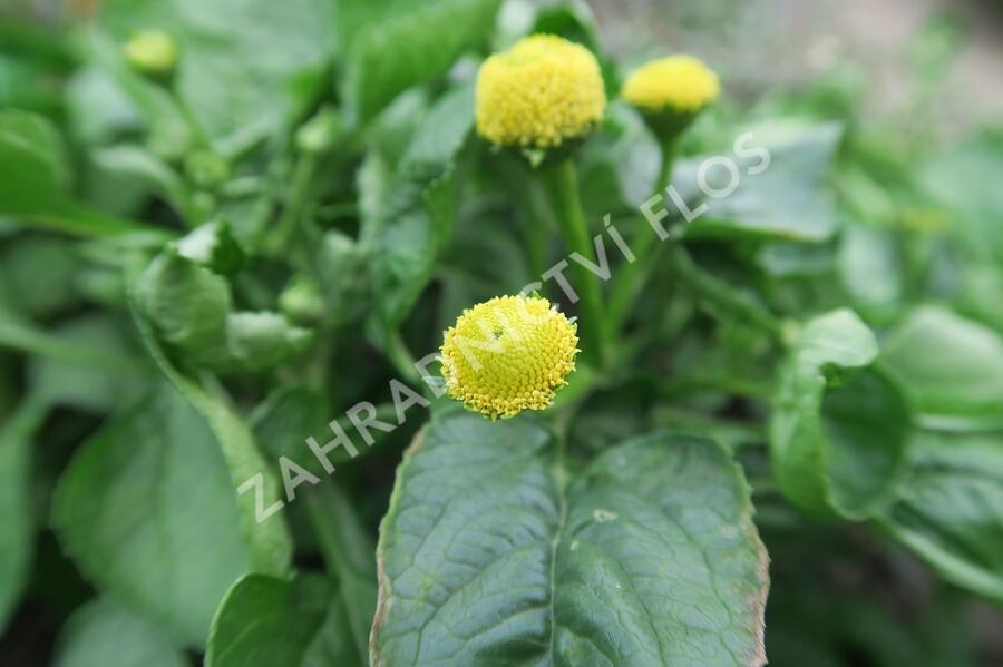 Plamatka zelná - Acmella oleracea