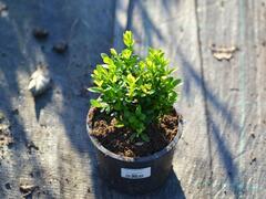 Zimostráz obecný - Buxus sempervirens