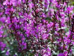 Kyprej vrbice 'Zigeunerblut' - Lythrum salicaria 'Zigeunerblut'