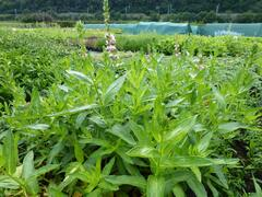 Kyprej vrbice 'Blush' - Lythrum salicaria 'Blush'