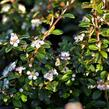 Skalník 'Coral Beauty' - Cotoneaster x suecicus 'Coral Beauty'