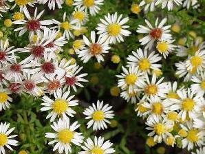 Hvězdnice vřesovcovitá 'Weißer Zwerg' - Aster ericoides 'Weißer Zwerg'