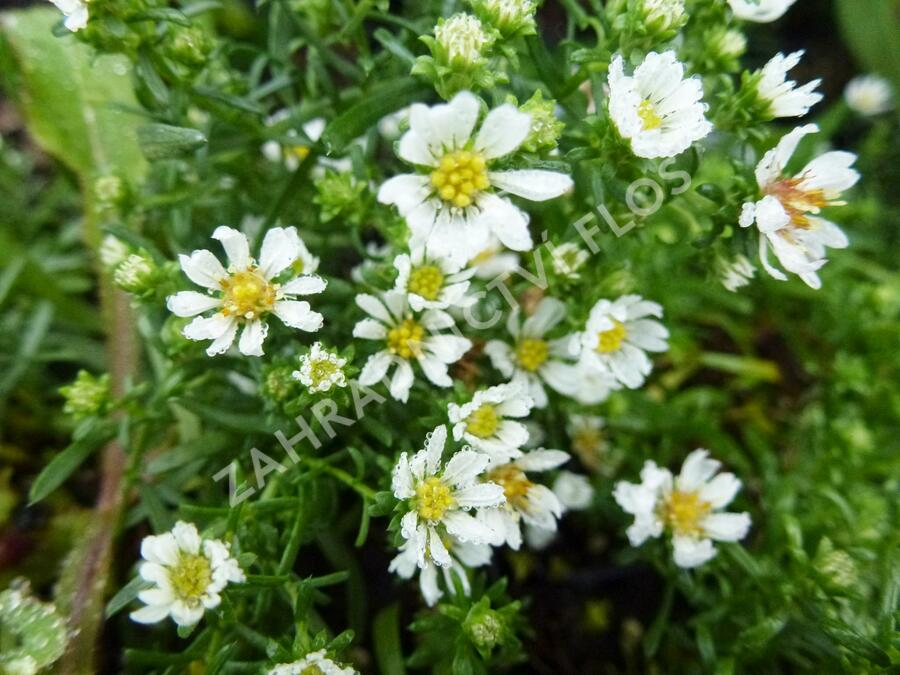 Hvězdnice vřesovcovitá 'Snowflurry' - Aster ericoides 'Snowflurry'