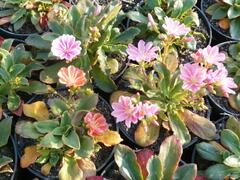 Levisie 'Little Peach' - Lewisia x longipetala 'Little Peach'