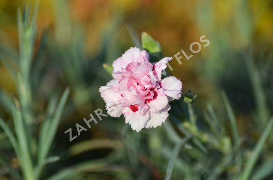 Hvozdík péřitý 'Monica Wyatt' - Dianthus plumarius 'Monica Wyatt'