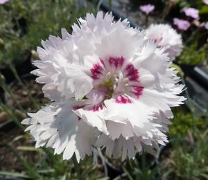 Hvozdík péřitý 'Ine' - Dianthus plumarius 'Ine'