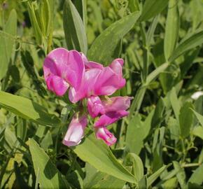 Hrachor širokolistý 'Rot' - Lathyrus latifolius 'Rot'