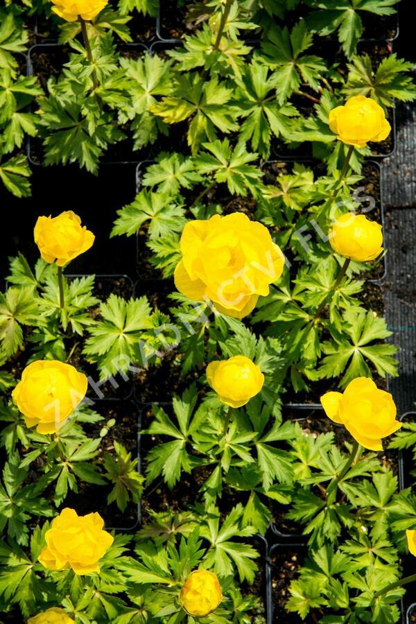 Upolín 'Lemon Supreme' - Trollius europaeus compactus 'Lemon Supreme'