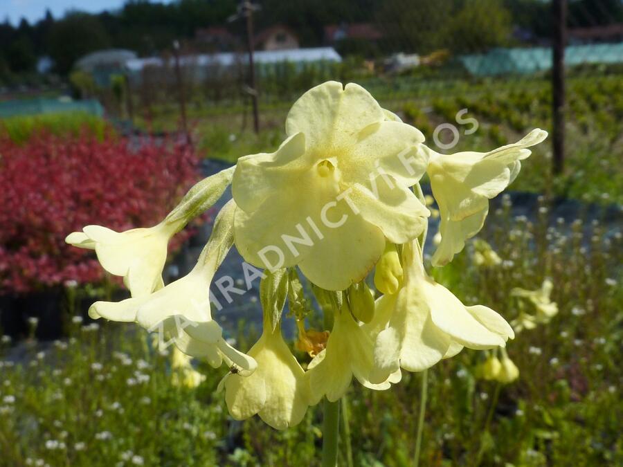 Prvosenka - Primula sikkimensis